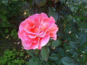 Camellia the flower of Galicia